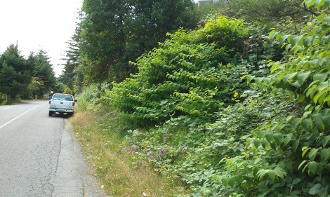 Knotweed growing alongside the road in Bremerton..jpg