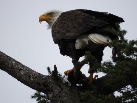 Eagle of Indian Island up close 3-30-17